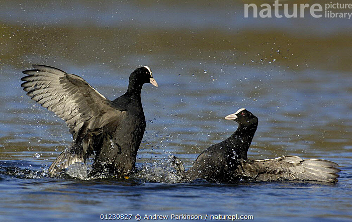 Coots (Fulica atra) fighting in a territorial dispute, Nottinghamshire, UK  ,  AGGRESSION,BEHAVIOUR,BIRDS,COOTS,DOMINANCE,EUROPE,FIGHTING,SPRAY,TERRITORIAL,TWO,UK,VERTEBRATES,WATERFOWL,Concepts, United Kingdom,Hierarchy,Hierarchical,,Nature reclamation  ,  Andrew Parkinson