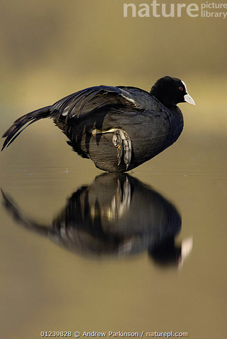 Coot (Fulica atra) standing on one leg stretching at dawn, Derbyshire, UK, March  ,  BEHAVIOUR,BIRDS,COOTS,EUROPE,FEET,PROFILE,REFLECTIONS,STRETCHING,UK,VERTEBRATES,VERTICAL,WATERFOWL, United Kingdom  ,  Andrew Parkinson