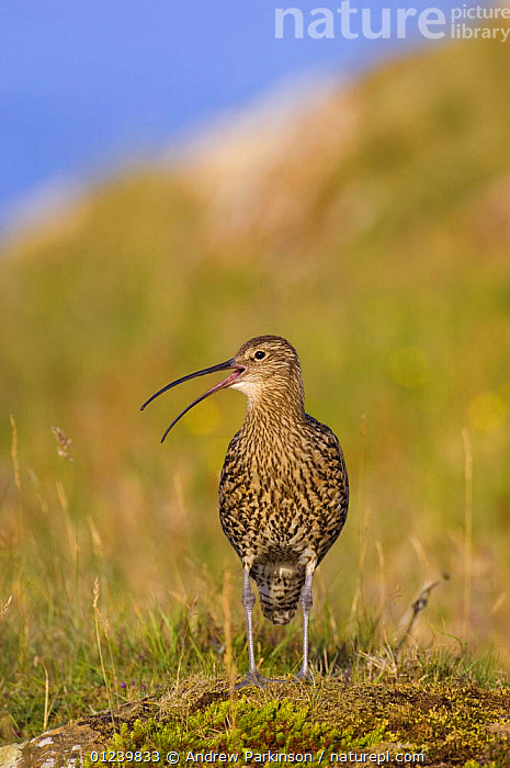 Curlew (Numenius arquata) calling in a field in golden evening light, Shetland Islands, Scotland, UK, July  ,  BEHAVIOUR,BIRDS,CALLING,CURLEWS,EUROPE,PORTRAITS,UK,VERTEBRATES,VERTICAL,VOCALISATION,WADERS, United Kingdom,Plovers  ,  Andrew Parkinson