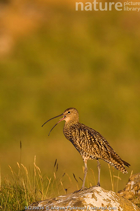 Curlew (Numenius arquata) calling from a grassy hillock in golden evening light, Shetland Islands, Scotland, UK, July  ,  BIRDS,CALLING,CURLEWS,EUROPE,HABITAT,PORTRAITS,PROFILE,UK,VERTEBRATES,VERTICAL,VOCALISATION,WADERS, United Kingdom,Plovers  ,  Andrew Parkinson