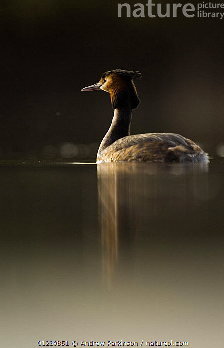 Great crested grebe (Podiceps cristatus) on a tranquil lake at dawn, Derbyshire, UK, March  ,  BIRDS,EUROPE,GREBES,REFLECTIONS,UK,VERTEBRATES,VERTICAL,WATER,WATERFOWL, United Kingdom, United Kingdom, United Kingdom,Catalogue1  ,  Andrew Parkinson