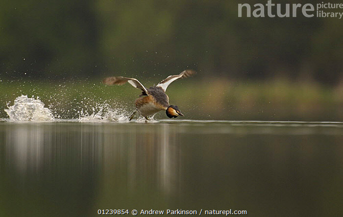 Great crested grebe (Podiceps cristatus) aggressively charging towards another in a territorial dispute, Derbyshire, UK, May  ,  AGGRESSION,BEHAVIOUR,BIRDS,EUROPE,GREBES,RUNNING,SPRAY,TERRITORIAL,UK,VERTEBRATES,WATER,WATERFOWL,Concepts, United Kingdom  ,  Andrew Parkinson