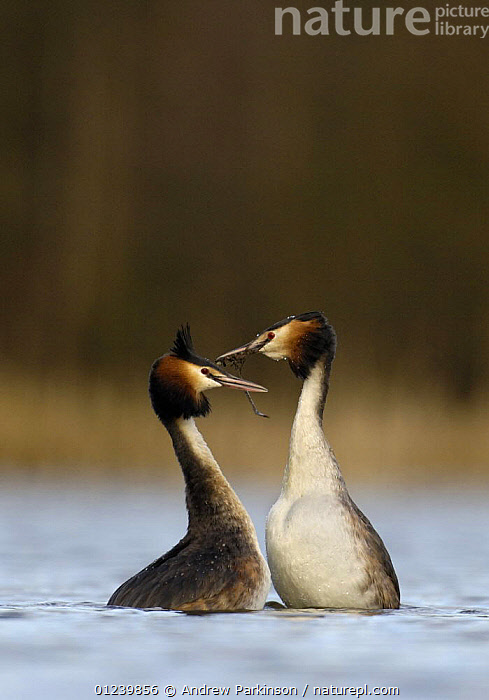 Great crested grebe (Podiceps cristatus) pair during part of their elaborate courtship called the 'weed dance', Derbyshire, UK, March  ,  BEHAVIOUR,BIRDS,COURTSHIP,EUROPE,GREBES,MALE FEMALE PAIR,UK,VERTEBRATES,VERTICAL,WATERFOWL,ENGLAND, United Kingdom, United Kingdom  ,  Andrew Parkinson