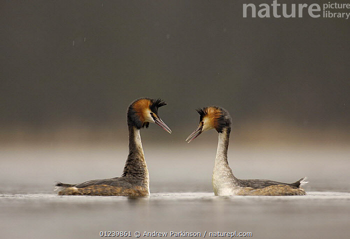 Great crested grebe (Podiceps cristatus) pair during their elaborate courtship dance, Derbyshire, UK, March  ,  BEHAVIOUR,BIRDS,COURTSHIP,EUROPE,GREBES,MALE FEMALE PAIR,PROFILE,UK,VERTEBRATES,WATERFOWL, United Kingdom  ,  Andrew Parkinson
