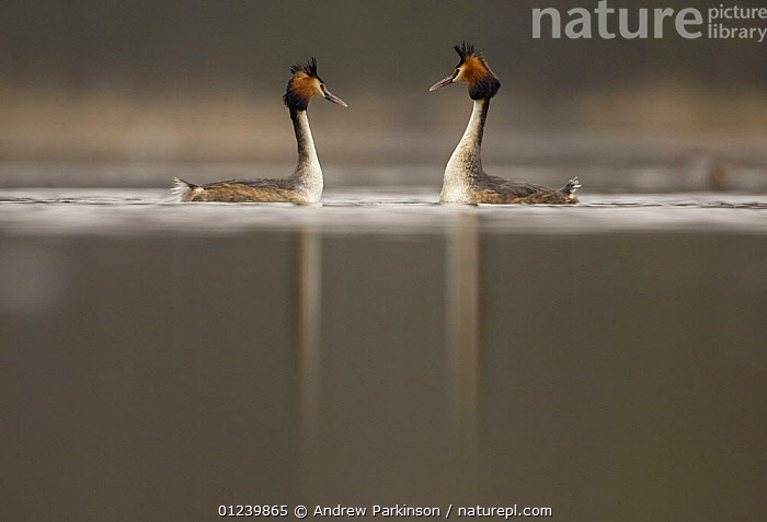 Great crested grebe (Podiceps cristatus) pair during their elaborate courtship dance, Derbyshire, UK, March  ,  BIRDS,COURTSHIP,EUROPE,GREBES,MALE FEMALE PAIR,UK,VERTEBRATES,WATERFOWL, United Kingdom  ,  Andrew Parkinson
