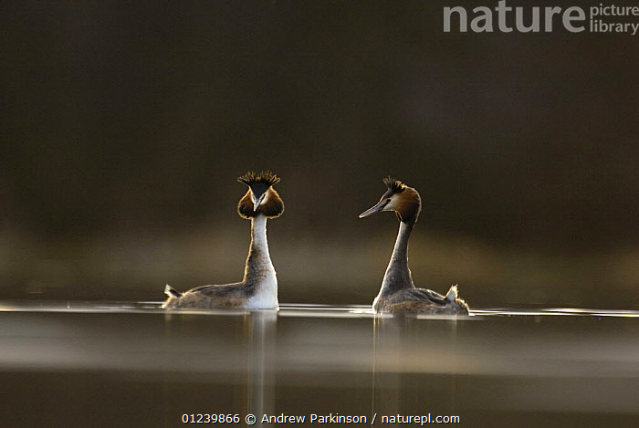 Great crested grebe (Podiceps cristatus) pair performing part of their elaborate courtship dance