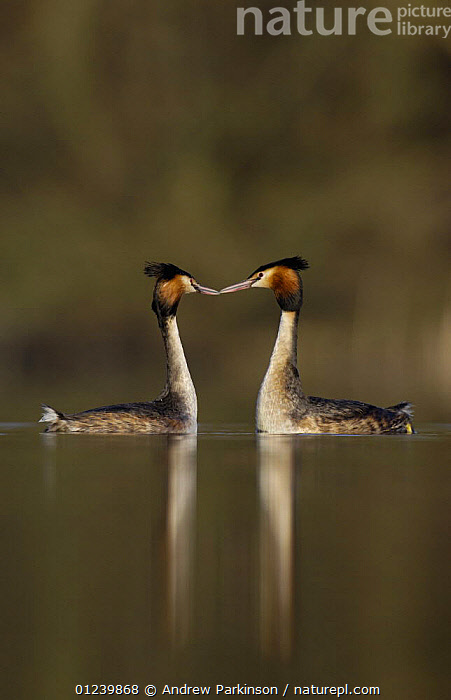 Great crested grebe (Podiceps cristatus) pair during their elaborate courtship dance, Derbyshire, UK, March  ,  BEHAVIOUR,BIRDS,COURTSHIP,EUROPE,GREBES,MALE FEMALE PAIR,SYMMETRY,UK,VERTEBRATES,VERTICAL,WATERFOWL, United Kingdom  ,  Andrew Parkinson