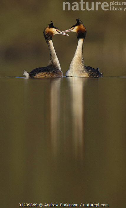 Great crested grebe (Podiceps cristatus) pair during their elaborate courtship dance, Derbyshire, UK, March  ,  BIRDS,COURTSHIP,EUROPE,GREBES,MALE FEMALE PAIR,REFLECTIONS,UK,VERTEBRATES,VERTICAL,WATERFOWL, United Kingdom  ,  Andrew Parkinson
