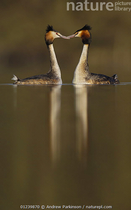 Great crested grebe (Podiceps cristatus) pair during their elaborate courtship dance, Derbyshire, UK, March  ,  BEHAVIOUR,BIRDS,COURTSHIP,EUROPE,GREBES,MALE FEMALE PAIR,REFLECTIONS,UK,VERTEBRATES,VERTICAL,WATERFOWL,ENGLAND, United Kingdom, United Kingdom, United Kingdom  ,  Andrew Parkinson