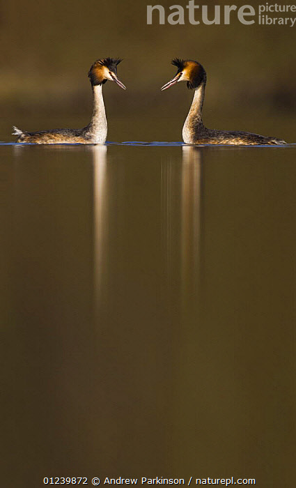 Great crested grebe (Podiceps cristatus) pair during part of their elaborate courtship ritual, Derbyshire, UK, March  ,  BIRDS,COURTSHIP,EUROPE,GREBES,MALE FEMALE PAIR,REFLECTIONS,SYMMETRY,UK,VERTEBRATES,VERTICAL,WATER,WATERFOWL,ENGLAND, United Kingdom, United Kingdom, United Kingdom  ,  Andrew Parkinson
