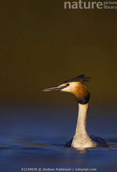 Great crested grebe (Podiceps cristatus) portrait, in evening light on a tranquil lake, Derbyshire, UK, March  ,  BIRDS,EUROPE,GREBES,PORTRAITS,UK,VERTEBRATES,VERTICAL,WATERFOWL, United Kingdom  ,  Andrew Parkinson