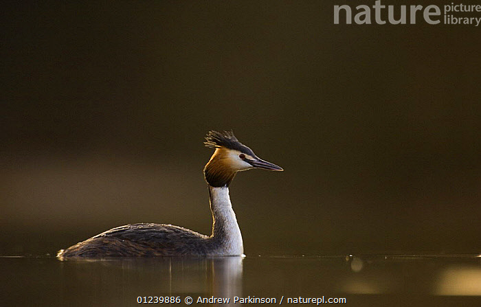 Great crested grebe (Podiceps cristatus) in the last fleeting moments of evening sunlight on a tranquil lake, Derbyshire, UK, March  ,  BIRDS,EUROPE,GREBES,PORTRAITS,PROFILE,UK,VERTEBRATES,WATERFOWL, United Kingdom  ,  Andrew Parkinson