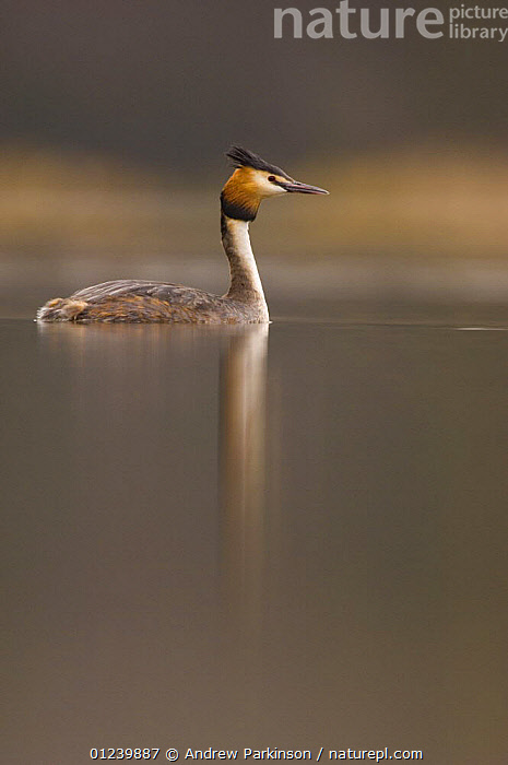 Great crested grebe (Podiceps cristatus) on a tranquil lake, Derbyshire, UK, March  ,  BIRDS,EUROPE,GREBES,PROFILE,REFLECTIONS,UK,VERTEBRATES,VERTICAL,WATER,WATERFOWL, United Kingdom  ,  Andrew Parkinson