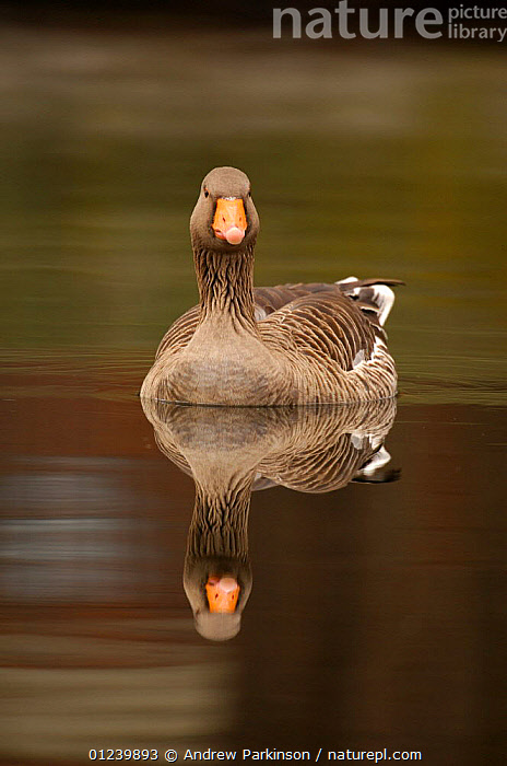Greylag goose (Anser anser) on the River Lea, Hackney Marshes, London, England  ,  BIRDS,EUROPE,GEESE,PORTRAITS,REFLECTIONS,RIVERS,UK,VERTEBRATES,VERTICAL,WATERFOWL, United Kingdom  ,  Andrew Parkinson
