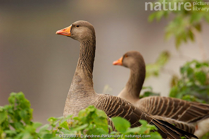 Two Greylag geese (Anser anser) on the fringes of the River Lea, Hackney Marshes, London, England  ,  BIRDS,EUROPE,GEESE,PORTRAITS,TWO,UK,VERTEBRATES,WATERFOWL, United Kingdom  ,  Andrew Parkinson