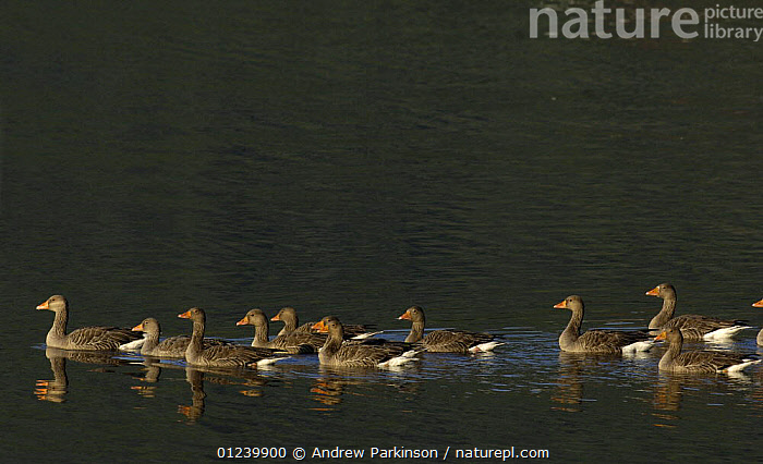 Greylag geese (Anser anser) in a line on a sheltered coastal loch, Isle of Mull, Scotland, UK  ,  BIRDS,EUROPE,GEESE,GROUPS,PATTERNS,REFLECTIONS,TEN,UK,VERTEBRATES,WATERFOWL, United Kingdom , Inner Hebrides  ,  Andrew Parkinson