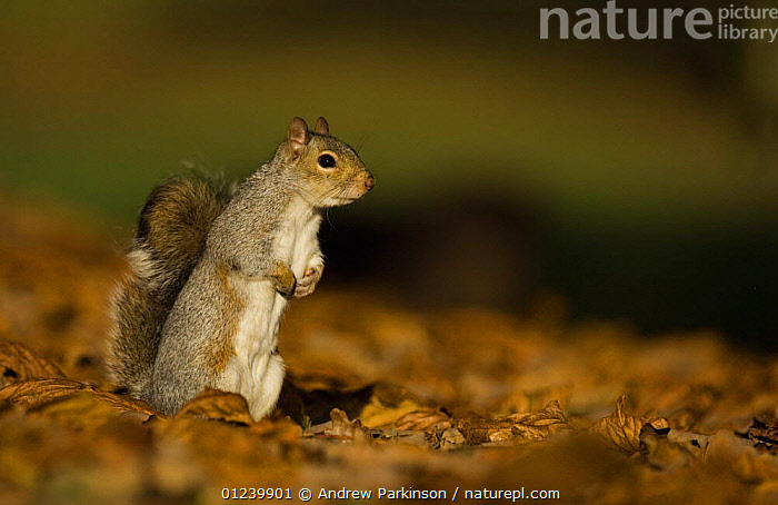 Grey squirrel (Sciurus carolinensis) standing on hind legs in autumnal leaves, Mid Wales, UK  ,  ALERT,BEHAVIOUR,EUROPE,MAMMALS,PORTRAITS,RODENTS,SQUIRRELS,STANDING,UK,VERTEBRATES, United Kingdom  ,  Andrew Parkinson
