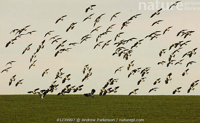 Lapwing (Vanellus vanellus) flock coming in to land in a field, Norfolk, UK  ,  BIRDS,EUROPE,FIELDS,FLOCKS,FLYING,GROUPS,LANDING,PLOVERS,UK,VERTEBRATES,WADERS, United Kingdom  ,  Andrew Parkinson