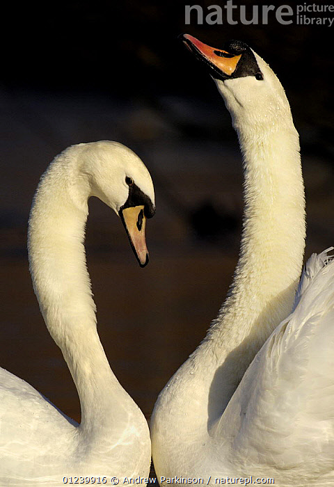 Mute swan (Cygnus olor) pair engaged in a courtship dance, Nottinghamshire, UK, February, BEHAVIOUR,BIRDS,COURTSHIP,EUROPE,MALE FEMALE PAIR,SWANS,UK,VERTEBRATES,VERTICAL,WATERFOWL, United Kingdom, Andrew Parkinson