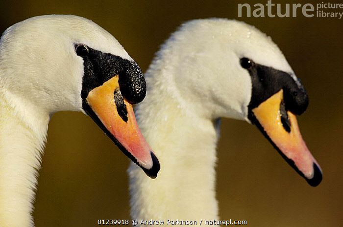 Mute swan (Cygnus olor) breeding pair of adults during part of their courtship ritual, Nottinghamshire, UK, February  ,  BIRDS,EUROPE,HEADS,MALE FEMALE PAIR,PROFILE,SWANS,UK,VERTEBRATES,WATERFOWL,ENGLAND, United Kingdom, United Kingdom, United Kingdom,Wildfowl  ,  Andrew Parkinson
