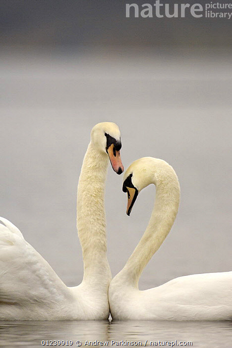 Mute swan (Cygnus olor) pair engaged in a courtship dance, Nottinghamshire, UK, February  ,  BEHAVIOUR,BIRDS,COURTSHIP,EUROPE,MALE FEMALE PAIR,REFLECTIONS,SWANS,UK,VERTEBRATES,VERTICAL,WATER,WATERFOWL,ENGLAND, United Kingdom, United Kingdom  ,  Andrew Parkinson