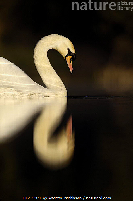 Mute swan (Cygnus olor) profile, on a secluded lake, Derbyshire, UK, March  ,  BIRDS,EUROPE,PORTRAITS,PROFILE,REFLECTIONS,SWANS,UK,VERTEBRATES,VERTICAL,WATER,WATERFOWL, United Kingdom,,Beauty in nature,,,beauty in nature,  ,  Andrew Parkinson
