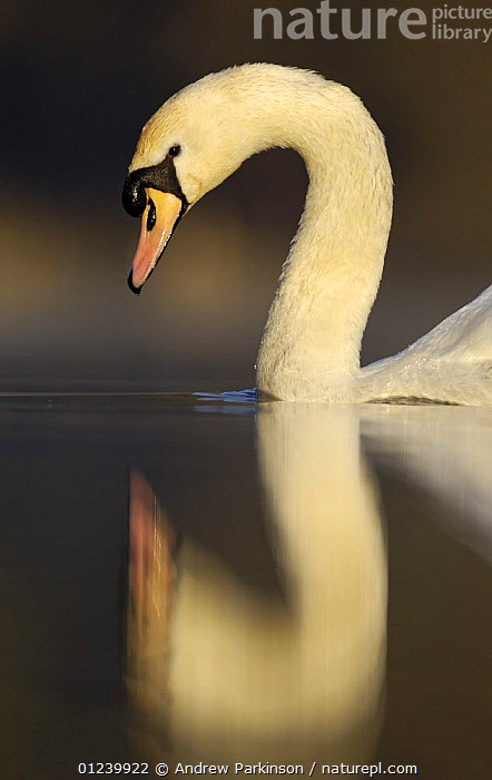 Mute swan (Cygnus olor) on a secluded lake, Derbyshire, UK, March  ,  BIRDS,EUROPE,PORTRAITS,PROFILE,REFLECTIONS,SWANS,UK,VERTEBRATES,VERTICAL,WATER,WATERFOWL, United Kingdom  ,  Andrew Parkinson