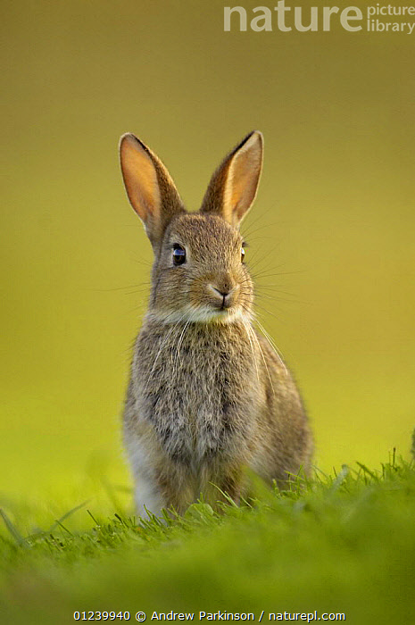 Young European rabbit (Oryctolagus cuniculus) sitting alert, in the last rays of evening light, Norfolk, UK, June  ,  BEHAVIOUR,EARS,EUROPE,JUVENILE,LAGOMORPHS,MAMMALS,PORTRAITS,RABBITS,SITTING,UK,VERTEBRATES,VERTICAL, United Kingdom  ,  Andrew Parkinson