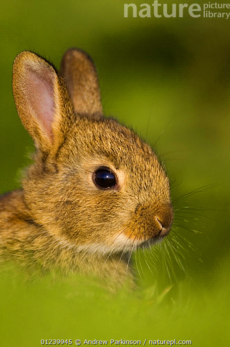 European rabbit (Oryctolagus cuniculus) in the last rays of evening light, Norfolk, UK, June  ,  BABIES,CUTE,EUROPE,HEADS,JUVENILE,LAGOMORPHS,MAMMALS,PORTRAITS,RABBITS,UK,VERTEBRATES,VERTICAL, United Kingdom, United Kingdom, United Kingdom,Catalogue1  ,  Andrew Parkinson