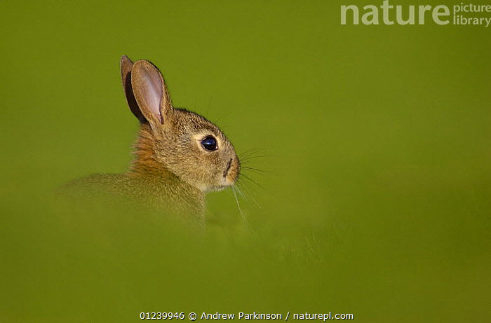 Young European rabbit (Oryctolagus cuniculus) partially hidden by long grass in a field, Norfolk, UK, May  ,  BABIES,EUROPE,GREEN,HEADS,JUVENILE,LAGOMORPHS,MAMMALS,PROFILE,RABBITS,UK,VERTEBRATES, United Kingdom  ,  Andrew Parkinson