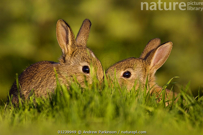 Two young European rabbits (Oryctolagus cuniculus) partially hidden by grass, touching noses, Norfolk, UK, June  ,  BABIES,CUTE,EUROPE,JUVENILE,LAGOMORPHS,MAMMALS,RABBITS,SIBLINGS,UK,VERTEBRATES, United Kingdom  ,  Andrew Parkinson