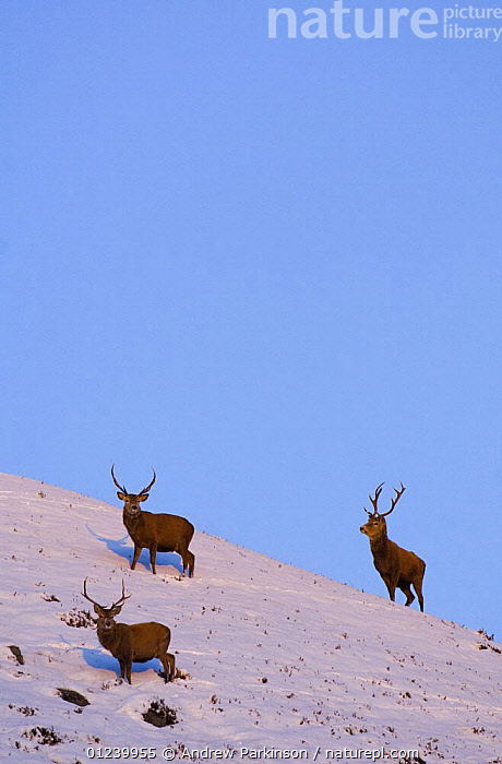 Red deer (Cervus elaphus) stags with their thick winter coats in snow, late evening light, Monadhliath Mountains, Scotland, UK, December  ,  ARTIODACTYLA,CERVIDS,DEER,EUROPE,MALES,MAMMALS,SNOW,THREE,UK,VERTEBRATES,VERTICAL, United Kingdom  ,  Andrew Parkinson