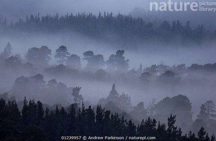 Rothiemurchus forest, a forest of ancient Caledonian Scots pines (Pinus sylvestris) shrouded in dawn mist, Cairngorms National Park, Scotland, UK, April  ,  CAIRNGORM,CONIFERS,DAWN,EUROPE,FORESTS,GYMNOSPERMS,LANDSCAPES,MIST,NP,PINACEAE,PINES,PLANTS,RESERVE,TREES,UK,National Park, United Kingdom  ,  Andrew Parkinson