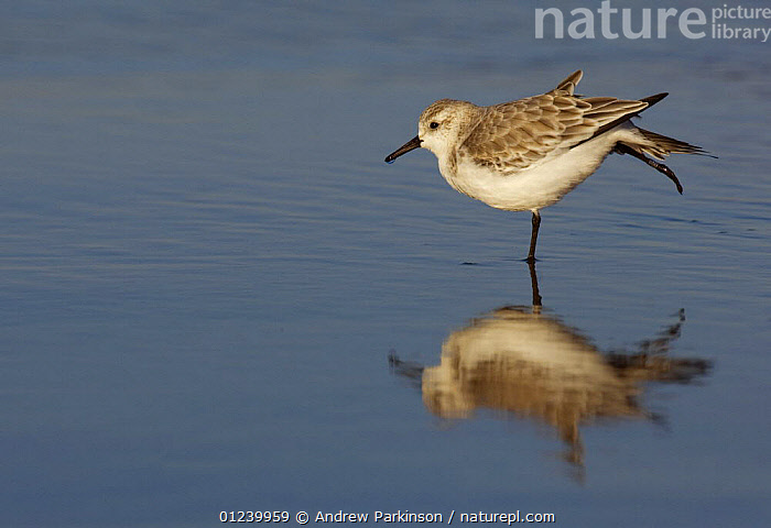 Sanderling (Calidris alba) stretching its wings and  leg as it stands in shallow water, Lincolnshire, UK  ,  BEHAVIOUR,BIRDS,EUROPE,PROFILE,REFLECTIONS,SANDPIPERS,STRETCHING,UK,VERTEBRATES,WADERS, United Kingdom  ,  Andrew Parkinson