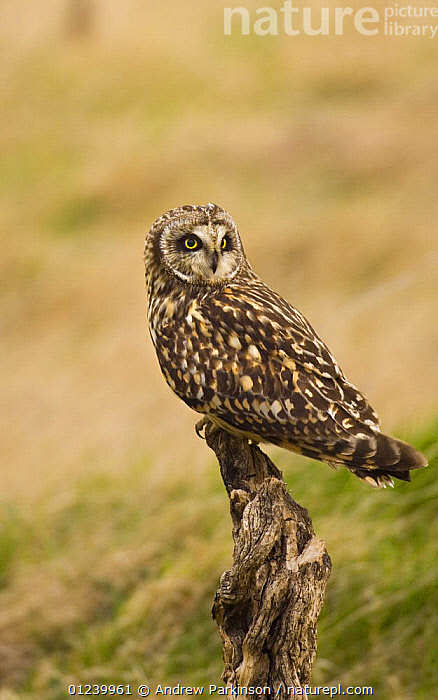 Short eared owl (Asio flammeus) perched on an old stump, North Wales, UK, March  ,  BIRDS,BIRDS OF PREY,CUTOUT,EUROPE,OWLS,PORTRAITS,UK,VERTEBRATES,VERTICAL, United Kingdom  ,  Andrew Parkinson
