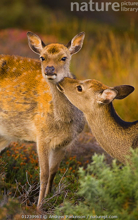 Sika deer (Cervus nippon) female grooming calf, Arne RSPB Reserve, Dorset, UK  ,  ARTIODACTYLA,BABIES,CERVIDS,DEER,EUROPE,FEMALES,GROOMING,MAMMALS,MOTHER BABY,RESERVE,TWO,UK,VERTEBRATES,VERTICAL, United Kingdom  ,  Andrew Parkinson