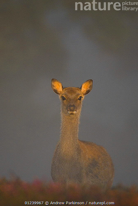 Sika deer (Cervus nippon) calf lit by gentle morning sunlight filtering through a thick mist, Arne RSPB Reserve, Dorset, UK  ,  ARTIODACTYLA,BABIES,CERVIDS,DAWN,DEER,EUROPE,JUVENILE,MAMMALS,MIST,PORTRAITS,RESERVE,UK,VERTEBRATES,VERTICAL, United Kingdom  ,  Andrew Parkinson