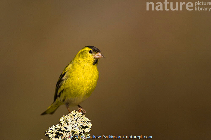 Male Siskin (Carduelis spinus) peched on a lichen covered branch, Rothiemurchus Forest, Scotland, UK  ,  BIRDS,EUROPE,FINCHES,LICHEN,MALES,PORTRAITS,UK,VERTEBRATES,YELLOW, United Kingdom  ,  Andrew Parkinson