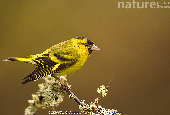 Male Siskin (Carduelis spinus) preparing to perform a threat display by dipping its wings, Rothiemurchus Forest, Scotland, UK  ,  AGGRESSION,BEHAVIOUR,BIRDS,EUROPE,FINCHES,LICHEN,MALES,PROFILE,UK,VERTEBRATES,Concepts, United Kingdom  ,  Andrew Parkinson