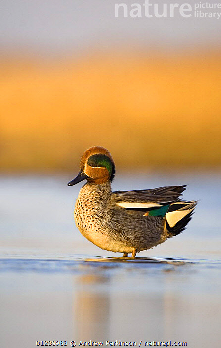Common teal (Anas crecca) profile of a male with his head feathers erect, Norfolk, UK, January  ,  BIRDS,DUCKS,EUROPE,MALES,PORTRAITS,PROFILE,UK,VERTEBRATES,VERTICAL,WATER,WATERFOWL,Wildfowl, Waterfowl,ENGLAND, United Kingdom, Waterfowl, United Kingdom  ,  Andrew Parkinson