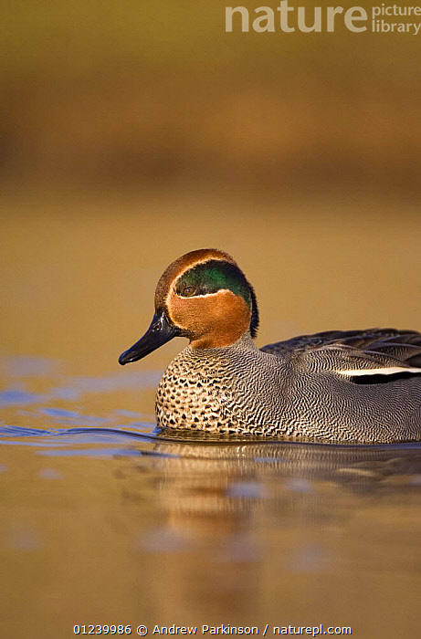 Male Common teal (Anas crecca) on a shallow coastal lagoon, Norfolk, UK, January  ,  BIRDS,DUCKS,EUROPE,MALES,PORTRAITS,PROFILE,UK,VERTEBRATES,VERTICAL,WATER,WATERFOWL, United Kingdom  ,  Andrew Parkinson
