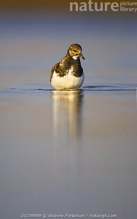 Turnstone (Arenaria interpres) wading through a shallow coastal lagoon, Norfolk, UK, January  ,  BIRDS,EUROPE,REFLECTIONS,TURNSTONES,UK,VERTEBRATES,VERTICAL,WADERS,WATER,ENGLAND, United Kingdom, United Kingdom  ,  Andrew Parkinson