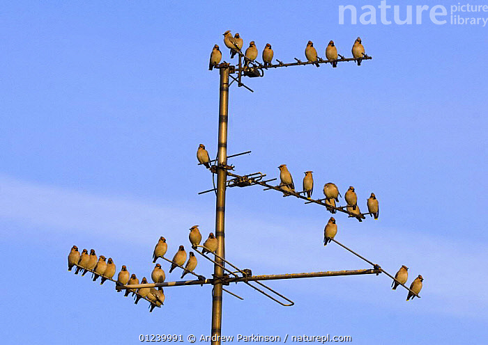 Bohemian waxwings (Bombycilla garrulus) perched on a TV aerial, Nottinghamshire, UK, January  ,  BIRDS,EUROPE,FLOCKS,GROUPS,UK,URBAN,VERTEBRATES,WAXWINGS, United Kingdom  ,  Andrew Parkinson
