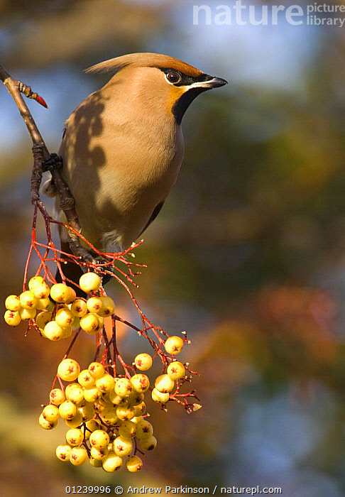 Bohemian waxwing (Bombycilla garrulus) perched on a distinct, yellow variety of rowan, Nottinghamshire, UK, January  ,  BERRIES,BIRDS,EUROPE,FRUIT,PORTRAITS,ROWAN,UK,VERTEBRATES,VERTICAL,WAXWINGS,Plants, United Kingdom  ,  Andrew Parkinson