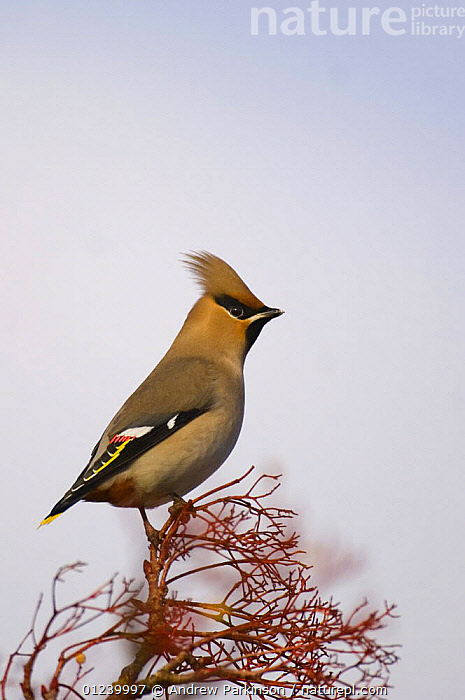 Bohemian waxwing (Bombycilla garrulus) perched on rowan branches that have been stripped of their berries, Nottinghamshire, UK, January  ,  BIRDS,CUTOUT,EUROPE,PORTRAITS,ROWAN,UK,VERTEBRATES,VERTICAL,WAXWINGS, United Kingdom  ,  Andrew Parkinson