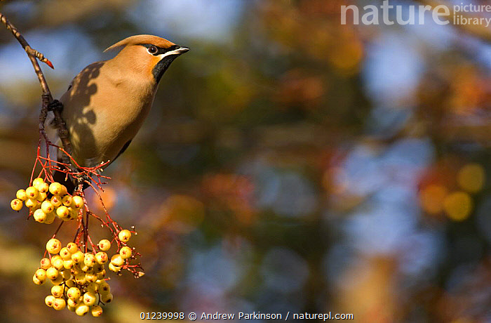 Bohemian waxwing (Bombycilla garrulus) perched on a distinct, yellow variety of rowan, Nottinghamshire, UK, January  ,  BERRIES,BIRDS,EUROPE,FRUIT,PORTRAITS,ROWAN,UK,VERTEBRATES,WAXWINGS,Plants, United Kingdom  ,  Andrew Parkinson