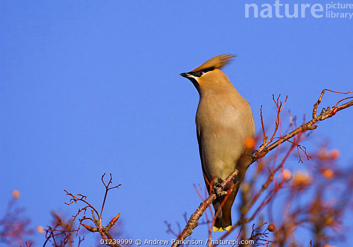 Bohemian waxwing (Bombycilla garrulus) perched in a rowan tree that has been stripped of all its berries, Nottinghamshire, UK, January  ,  BIRDS,EUROPE,PORTRAITS,ROWAN,UK,VERTEBRATES,WAXWINGS, United Kingdom  ,  Andrew Parkinson