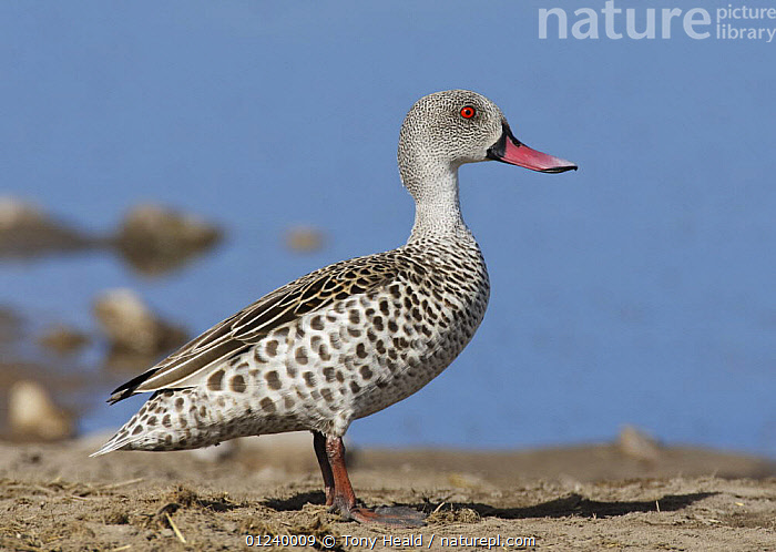Cape teal (Anas capensis) portrait, Etosha National Park, Namibia, January  ,  BIRDS,DUCKS,NP,PORTRAITS,PROFILE,RESERVE,SOUTHERN AFRICA,VERTEBRATES,WATERFOWL,National Park  ,  Tony Heald