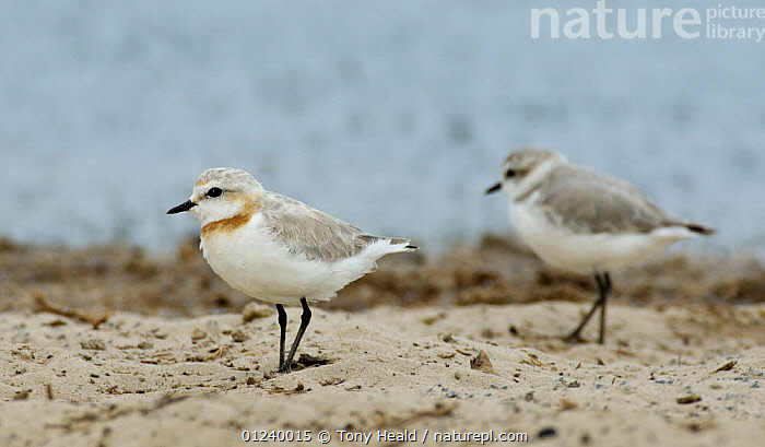 Chestnut-banded plover (Charadrius pallidus) male in foreground, Etosha National Park, Namibia, January  ,  BIRDS,MALES,NP,PLOVERS,RESERVE,SOUTHERN AFRICA,TWO,VERTEBRATES,WADERS,National Park  ,  Tony Heald