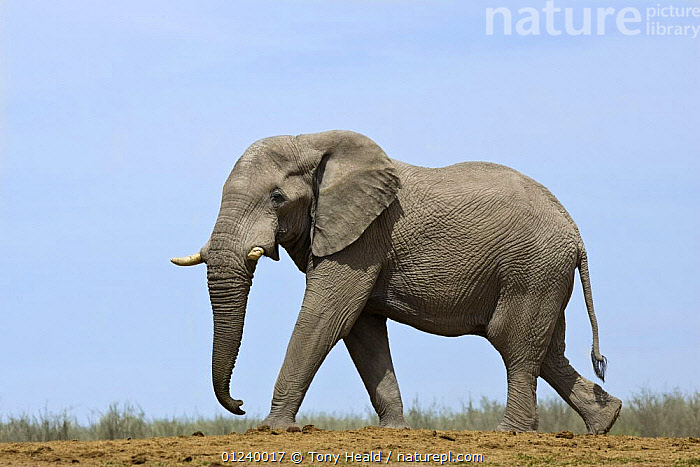 African elephant (Loxodonta africana) walking, Etosha National Park, Namibia, January  ,  CUTOUT,ELEPHANTS,ENDANGERED,MAMMALS,NP,PROBOSCIDS,PROFILE,RESERVE,SOUTHERN AFRICA,VERTEBRATES,WALKING,National Park  ,  Tony Heald